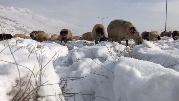 Thumbnail for Eine Herde von Schafen im Winter