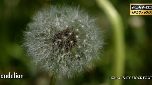 Thumbnail for Dandelion in Green Grass