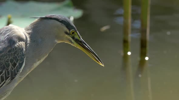 Thumbnail for Little Bittern Looking Into Water