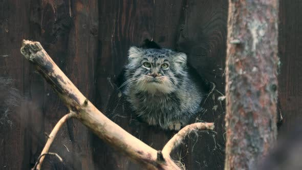 Thumbnail for Pallas's Cat Otocolobus Manul, Also Called Manul, Is a Small Wild Cat