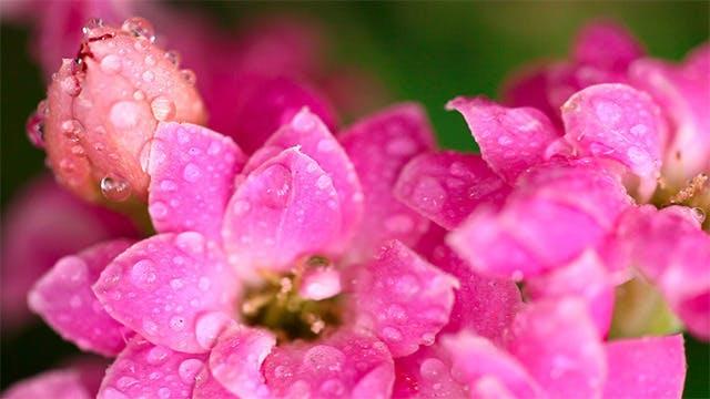 Thumbnail for Pink kalanchoe Macro