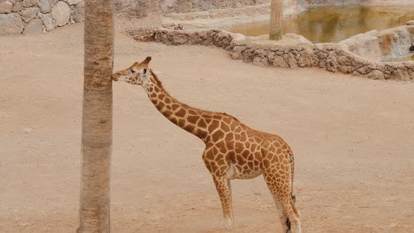 Thumbnail for Giraffe Is Eating Leaves Over Blue Sky with White Clouds