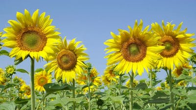 Blooming Sunflowers Dissolve Their Petals In The Wind In A Clear Weather.