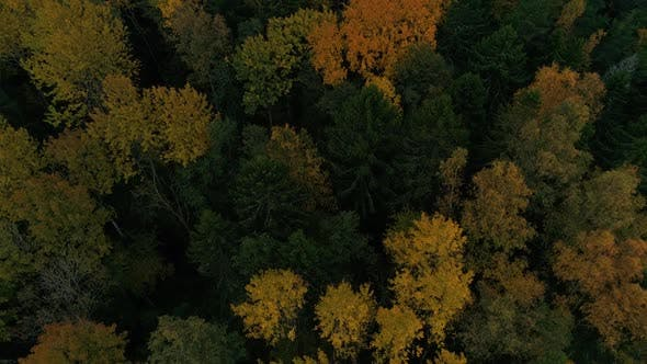 Thumbnail for Aerial view of yellow tree top during the autumn, Estonia.