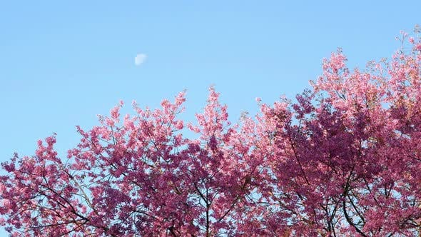 Thumbnail for Tree Pink Flowers in Blue Sky