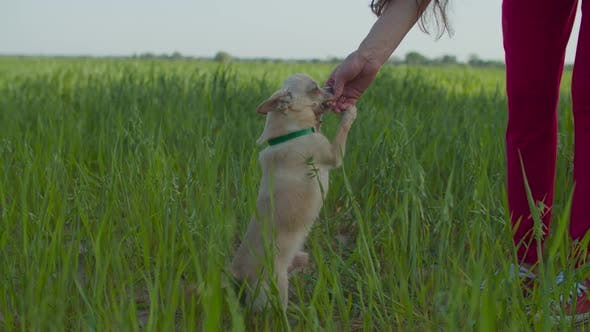 Thumbnail for Chihuahua Getting Cookie As Treat for Good Behavior