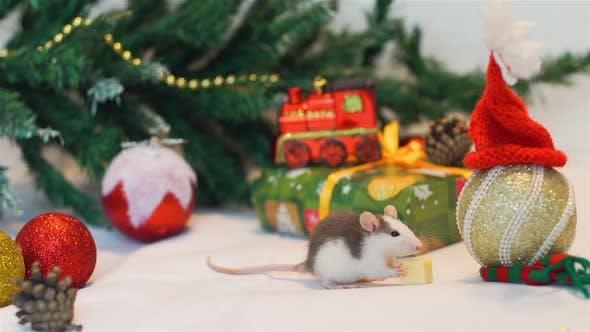 Domestic Rat Eating Cheese Near Christmas Tree