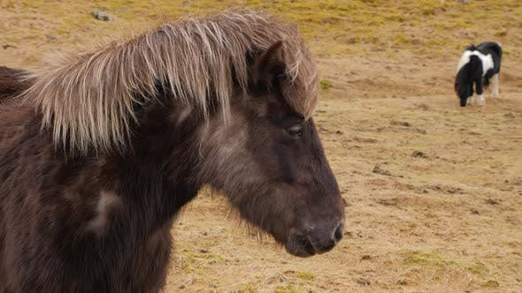 Thumbnail for Icelandic Brown Horse Standing On Moss Covered Ground