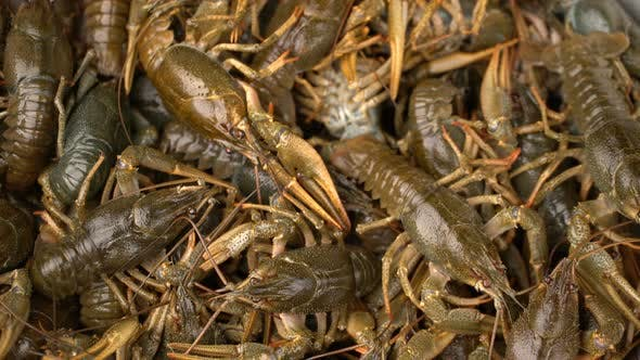 Footage Live Crayfish  Rotate on a Tray