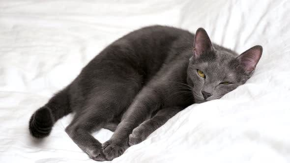 Beautiful Gray Cat is Resting Lying on a White Blanket