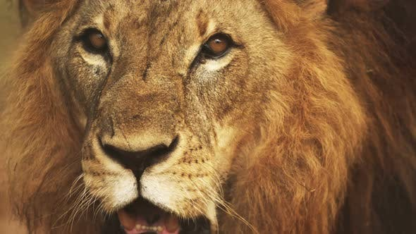 Thumbnail for Close up of male lions face