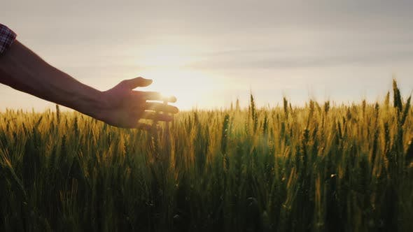 Thumbnail for The Hand of a Male Farmer in the Sunshine Over a Field of Wheat. A Farmer Walks Along His Field