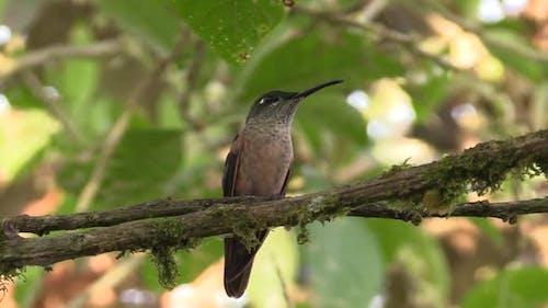 Hummingbird Perched Looking Around Flicking Tongue in Ecuador Jungle