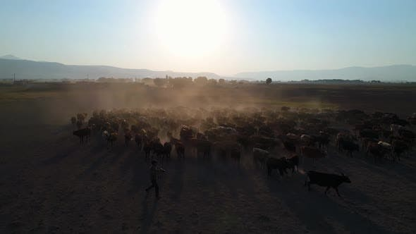 Thumbnail for Aerial View Photographer With Herd Of Cows