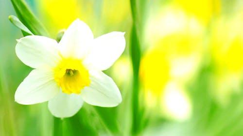 Narcissus 2