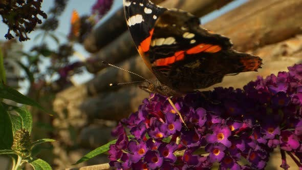 Thumbnail for Monarch Butterfly in Black and Orange on Top of Flowers