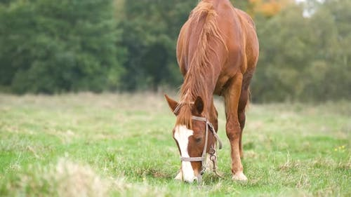 Beautiful chestnut horse grazing in green grassland summer field.