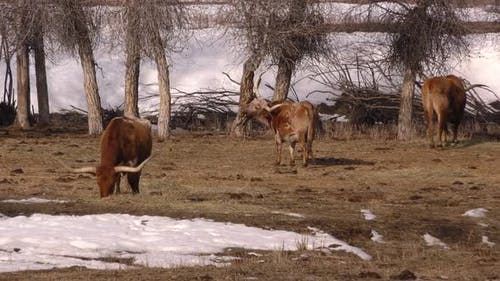 Longhorn Cattle Adult Several Eating Grazing in Winter Ranching Livestock Domestic Breed