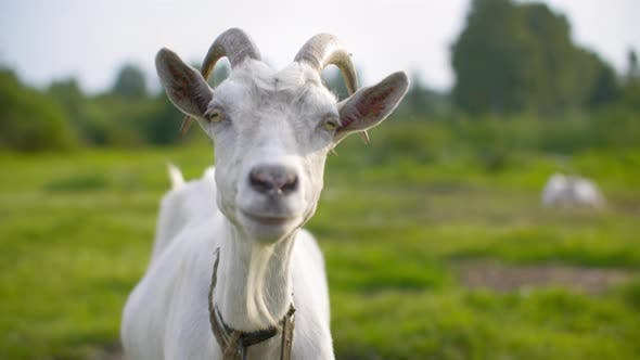 Thumbnail for Portrait White Goat Looking To Camera on Green Pasture in Livestock. Close Up White Nanny Goat on