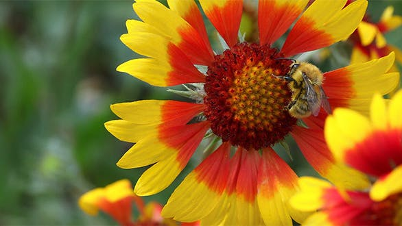 Thumbnail for Biene bei der Arbeit