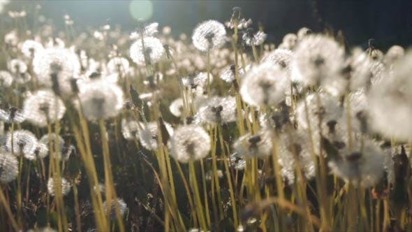 Thumbnail for Meadow of Dandelions in Rays of Evening Sun
