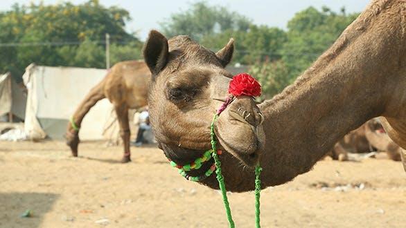 Thumbnail for Pushkar Camel Fair