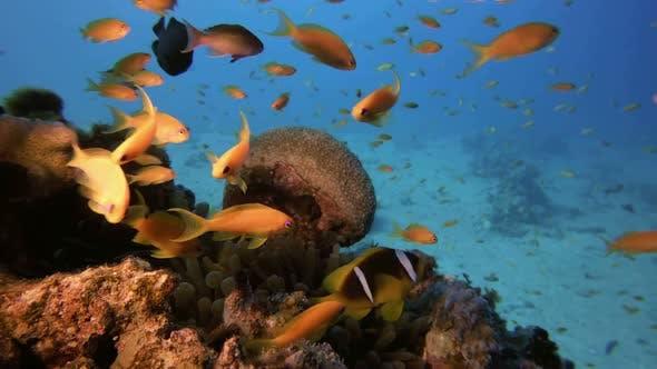 Clownfish and Tropical Fish