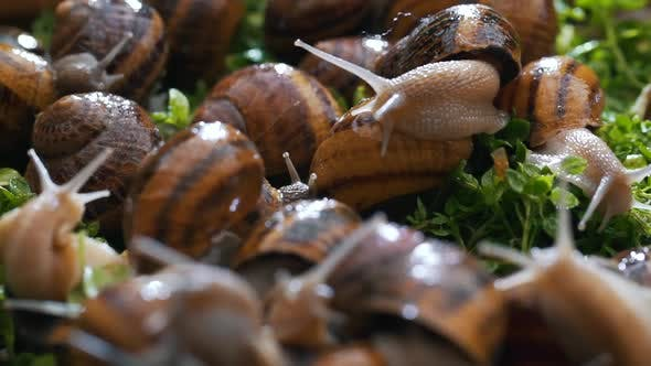Thumbnail for Snail Farm Eating Grass Close Up