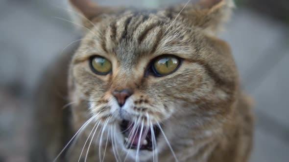 British Breed Cat Yawns