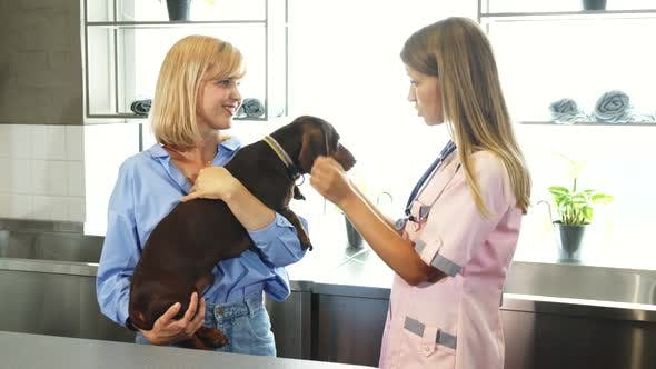 Thumbnail for The Nurse Is Cheking Up German Badger-dogs Ears