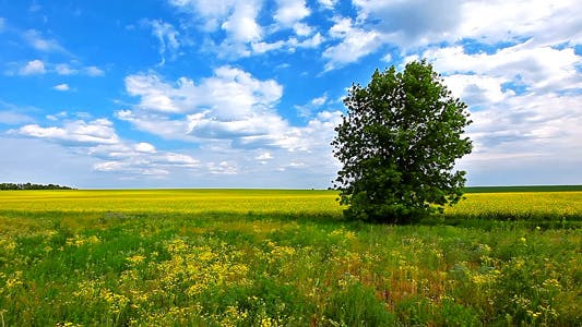 Thumbnail for Canola Field And A Cloudy Sky 2