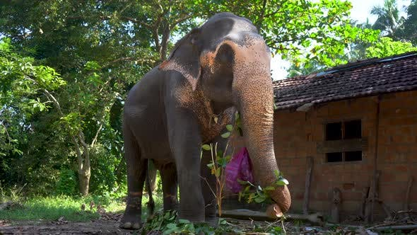 Thumbnail for Indian Elephant Eats Tree Branches in the Park Near the Hut