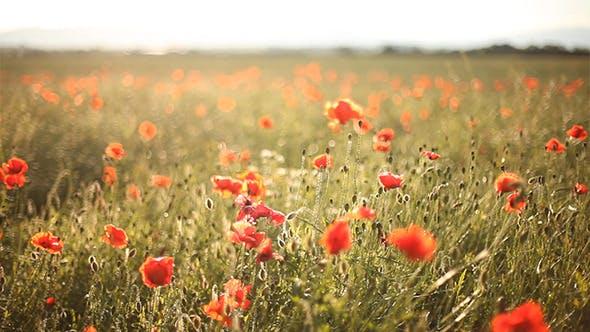 Thumbnail for Wild Poppies