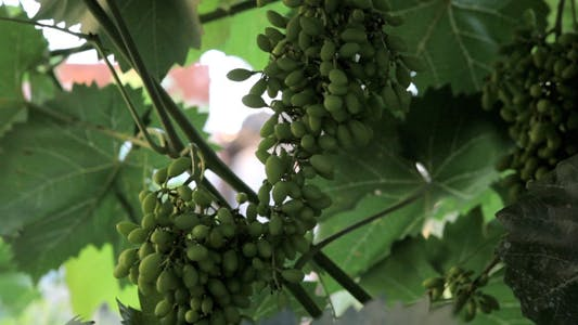 Thumbnail for Fresh Green Grapes in Nature