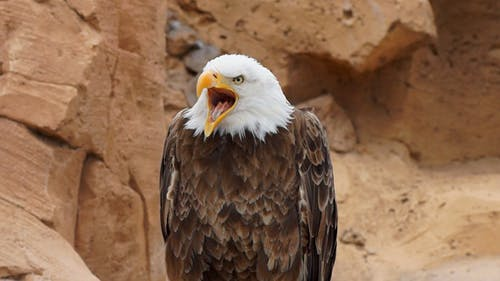 Amerikanischer Adler