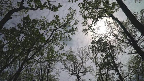 Bottom Up View of Lush Green Foliage of Trees with Afternoon Sun