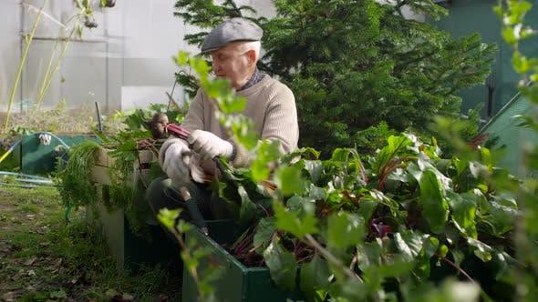 Thumbnail for Mature Caucasian Man Harvesting Ripe Beetroot at Allotment