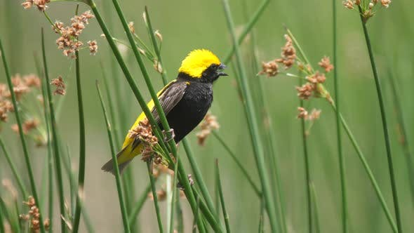 Thumbnail for Yellow-headed Blackbird juvenile sitting on reed