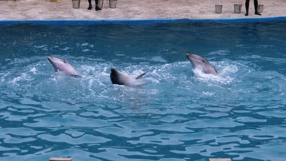 Dolphins in Dolphinarium Perform Tricks in the Pool. Funny Dolphins Circling in the Water