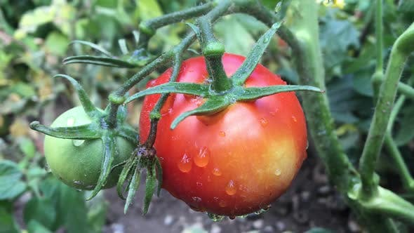 Thumbnail for Tomatoes On The Plant