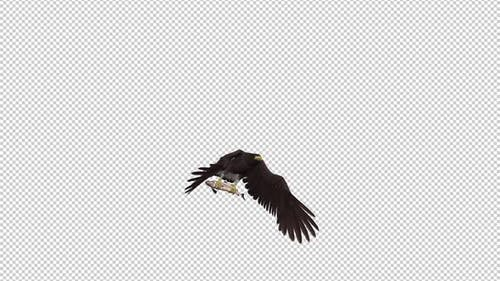 Eurasian White Tail Eagle With Fish - Flying Transition II