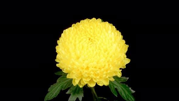 Beautiful Yellow Chrysanthemum Flower Opening
