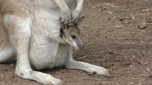 Red Kangaroo Female Adult Young Joey Family Looking Around Pouch