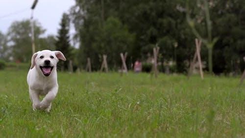 White Labrador Puppy Running in the Park
