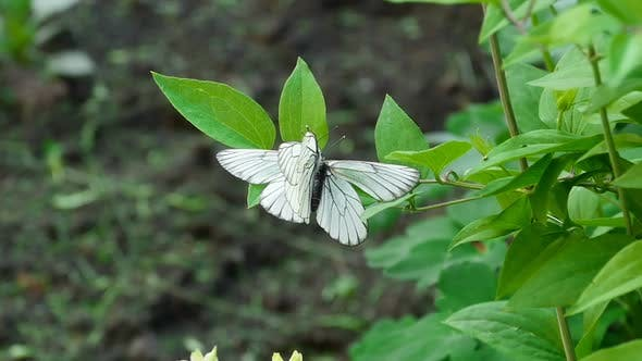 Thumbnail for Black-Veined White Butterfly