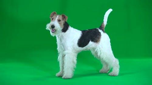 Fox Terrier. Green Screen