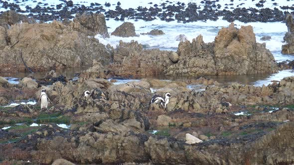 Thumbnail for A waddle of Penguins walking on the rocks