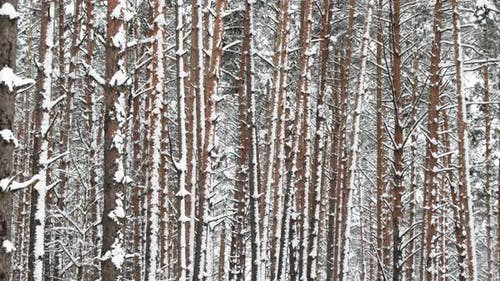 Winter Snowy Coniferous Forest During Snowy Day