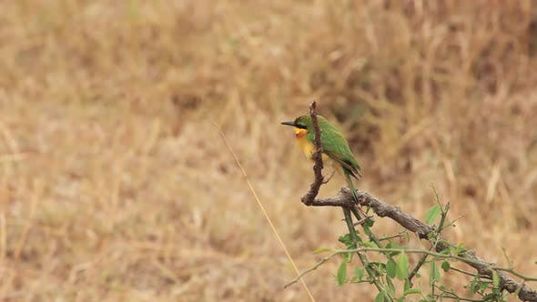 Thumbnail for Bee-eater Flying and Landing