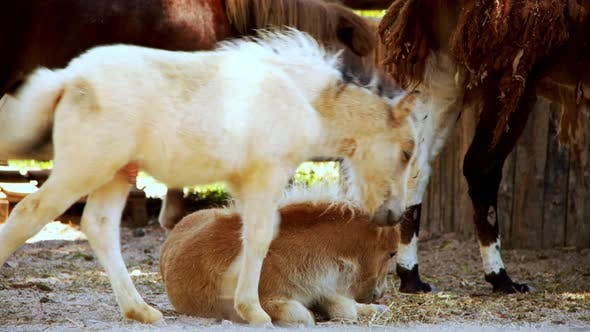 Thumbnail for Baby Horses In A Barn